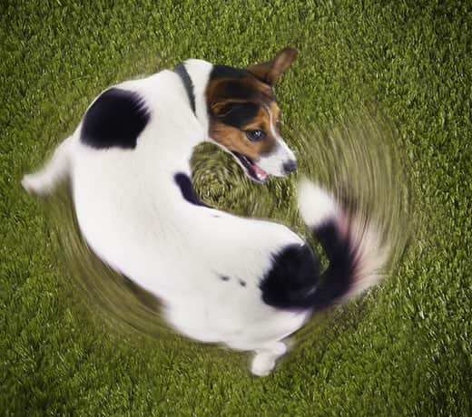 Jack Russell terrier chases tail from an overhead view.